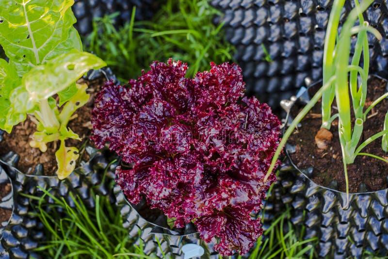 Nära övre sikt av röda och gröna grönsallatsidor nära löken för grön sallad som växer i trädgårdkrukor sund begreppsmat fotografering för bildbyråer