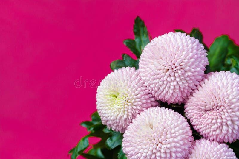 Nära övre sikt på en bukett av de rosa krysantemumblommorna fotografering för bildbyråer