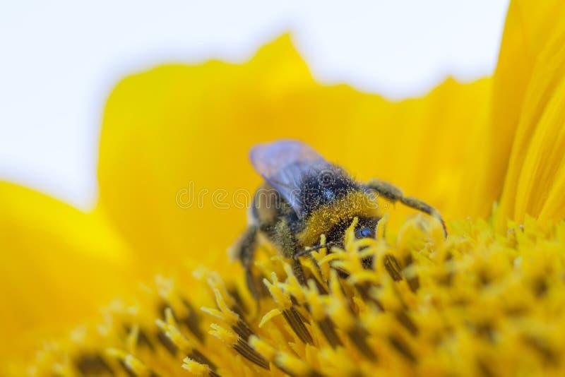 Nära övre sikt på en humla på solrosen royaltyfri foto