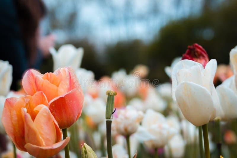 Nära övre skott av de orange och vita tulpanfälten under tulpanfestivalen i Holland Michigan royaltyfri bild