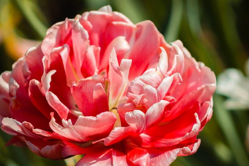 Nära övre skott av en rosa nejlika i blom på Frederik Meijer Gardens i Grand Rapids Michigan arkivfoton