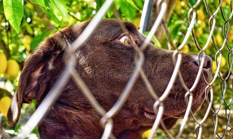 Nära övre stående av den Caged gulliga labradoren royaltyfria foton