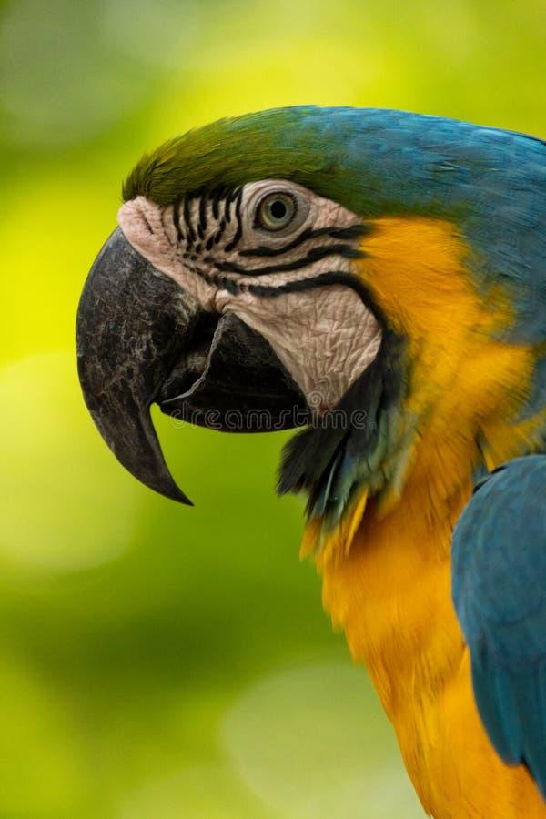 Nära övre stående av den härlig och colorfullaran arkivfoton