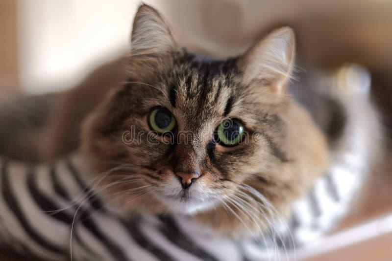 Nära övre stående av den långhåriga Siberian katten av tebby färg Gör suddig bakgrund, inomhus, den mäktiga kattblicken kopiera a fotografering för bildbyråer