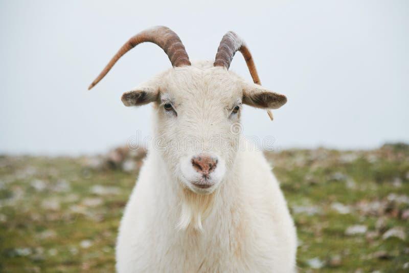 Nära övre stående av den lösa vita bergsfåret med små horn royaltyfria foton