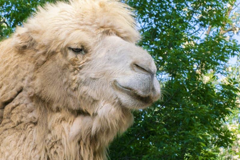 nära övre stående av den mongolian kamlet i zoo, fäuppehälle i öknarna royaltyfria bilder