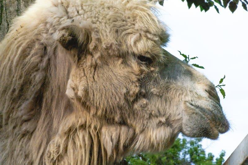 nära övre stående av den mongolian kamlet i zoo, fäuppehälle i öknarna fotografering för bildbyråer