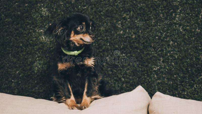 Nära övre stående av den svarta unga gulliga hunden för valp för ryssleksakterrier som ser främre royaltyfri bild