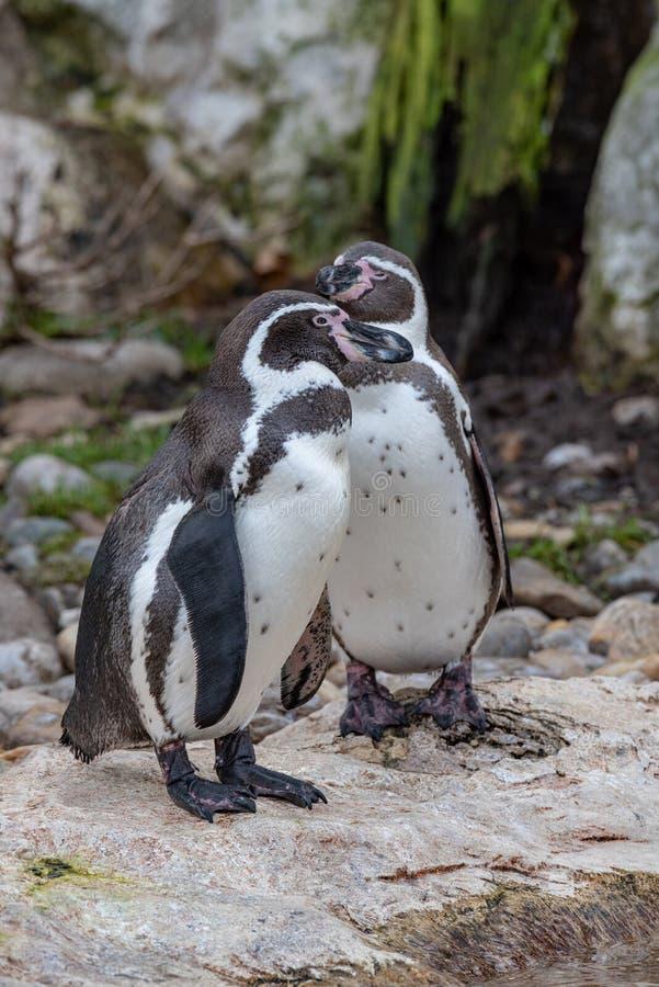 Nära övre stående av fotoet för djurliv för humboldti för Humboldt pingvinSpheniscus arkivbilder