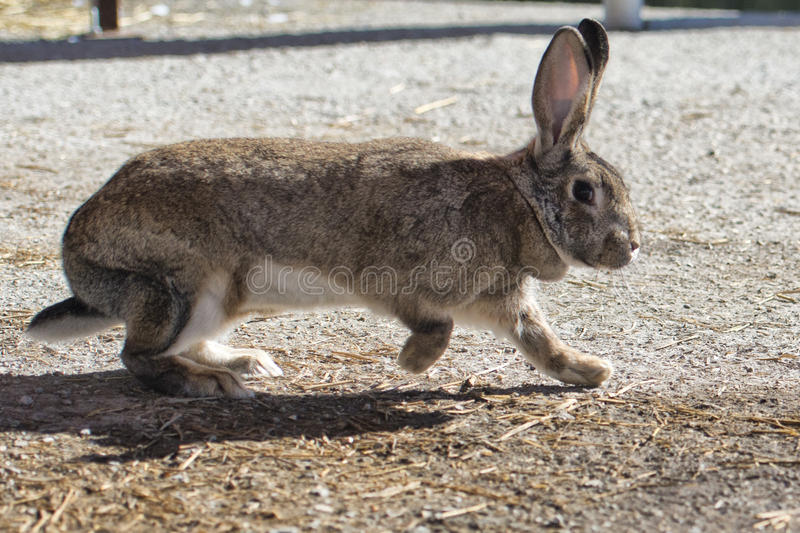 Nära övre stående för kanin fotografering för bildbyråer