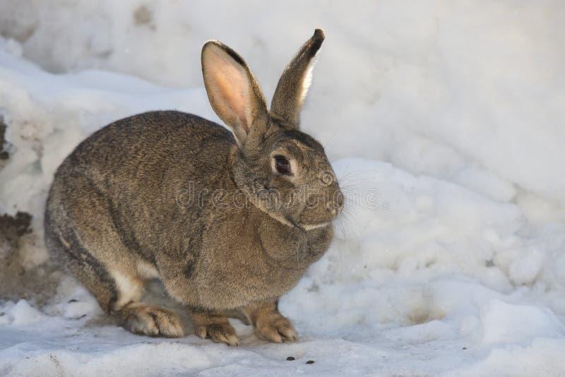 Nära övre stående för kanin på snöbakgrund arkivbild