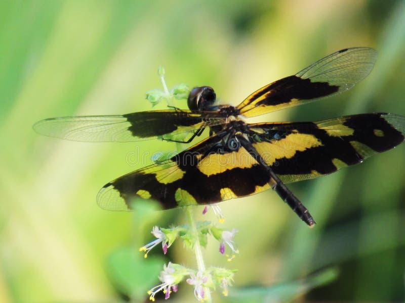 Nära övre svarta och gula vingar för slända, av sländan på en sma royaltyfri fotografi