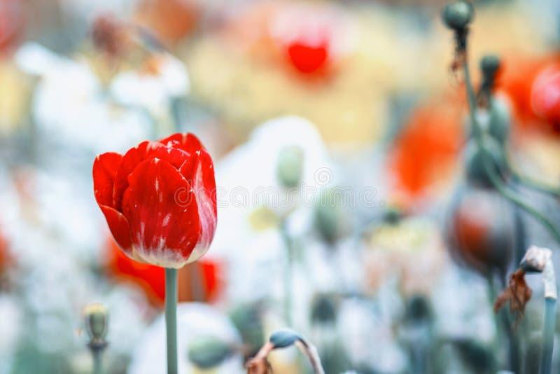 Nära övre tappningfoto av den röda tulpan, makro som skjutas av knoppen i trädgård Det är härlig gjord suddig naturbakgrund med b arkivbilder