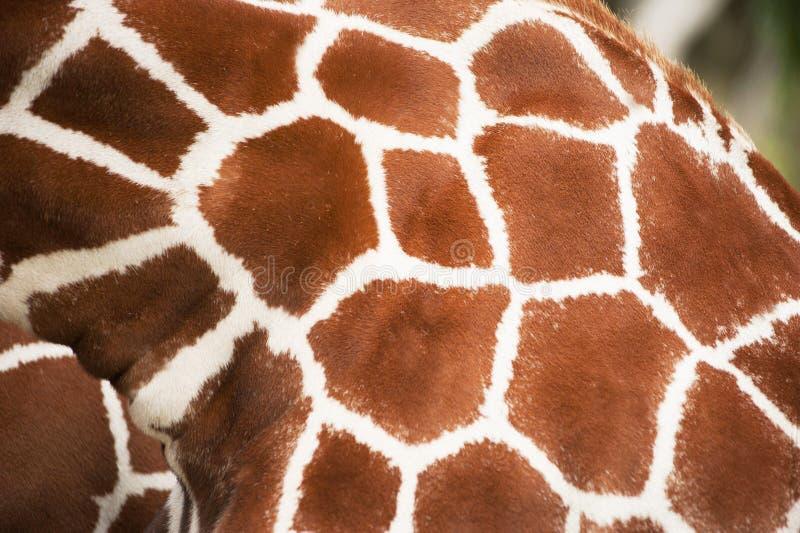 Nära övre texturfläckar för giraff royaltyfria bilder