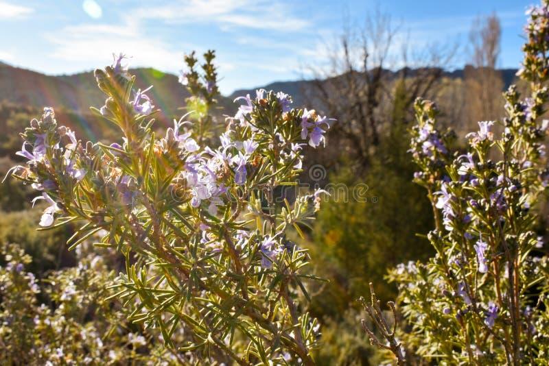 nära av några aromatiska purpurfärgade blommor av en buske kallade upp rosmarin använde mycket örten i den kulinariska gastronomi arkivbilder