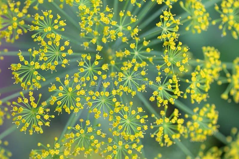 Nära blommande dillblommor arkivfoton