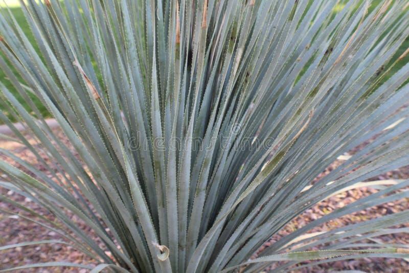 Nära broddat övre mycket stort för kaktus royaltyfria bilder