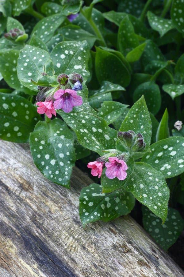Pulmonaria i trädgård. royaltyfria bilder