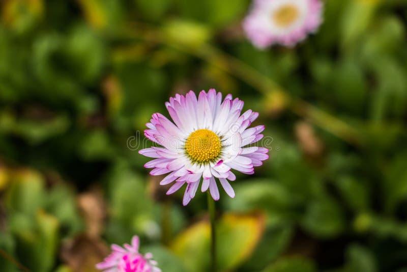 Nära foto av en purpurfärgad engelsk tusensköna arkivfoton