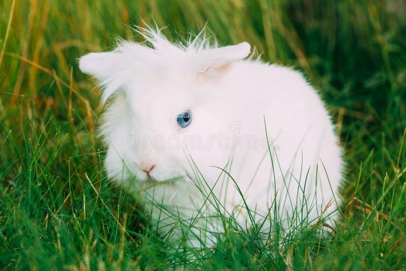 Nära gullig dvärg- dekorativ miniatyrvit fluffig kaninkanin fotografering för bildbyråer