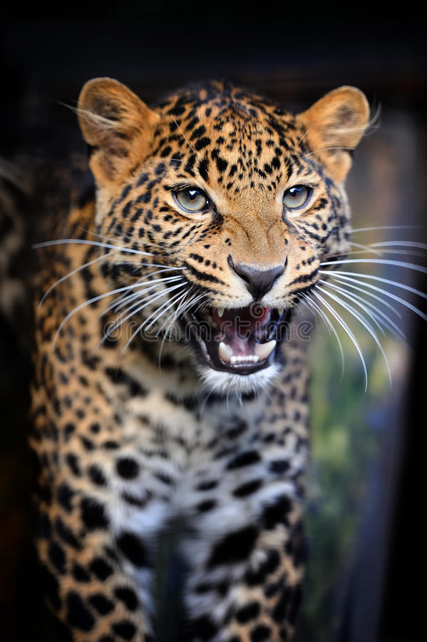 Nära ilsken leopardstående royaltyfri fotografi