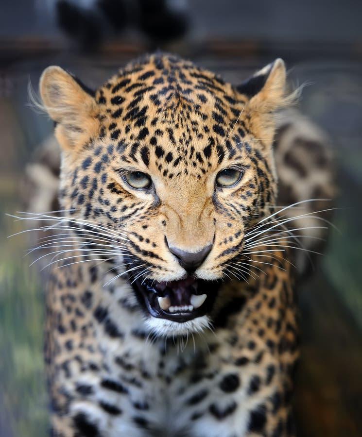 Nära ilsken leopardstående royaltyfria bilder
