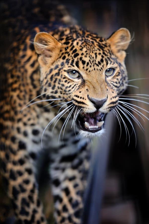 Nära ilsken leopardstående royaltyfria foton