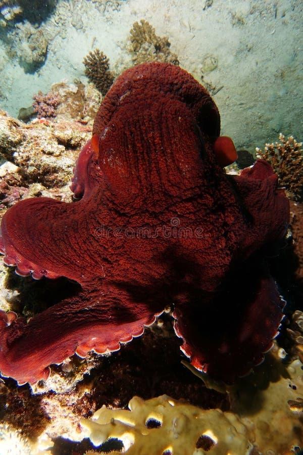 Nära röd bläckfisk över korallreven royaltyfri bild