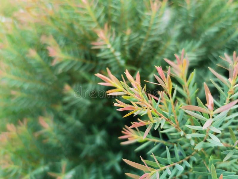 Nära röda och gröna blad av EllWoods gold eller Chamaecyparis lawsoniana royaltyfria bilder