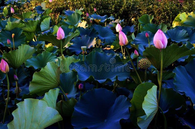 Nära shanghai för Lotus blomma vatten arkivfoto