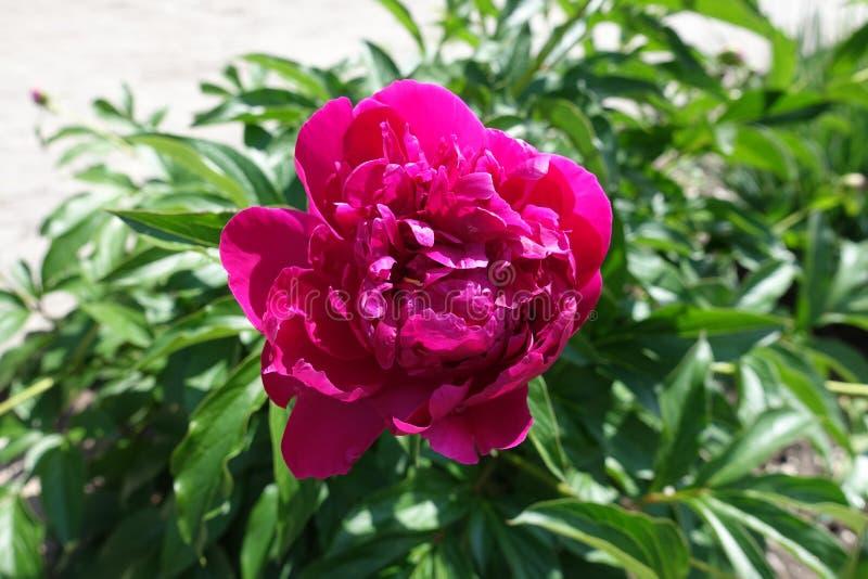 Nära sikt av den karmosinröda blomman av pionen arkivbild