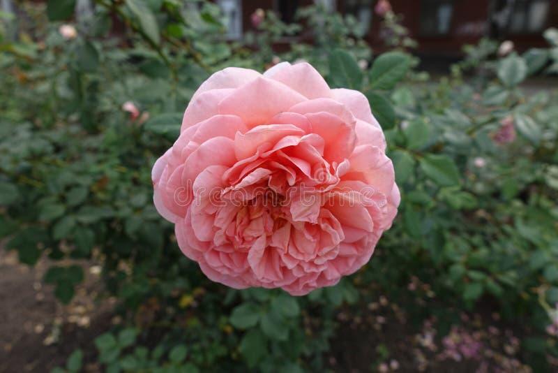 N?ra sikt av den rosa blomman av rosen royaltyfria foton