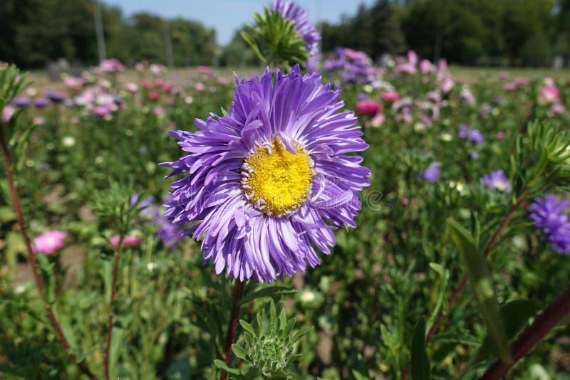 Nära sikt av den violetta blomman av den Kina aster arkivbilder