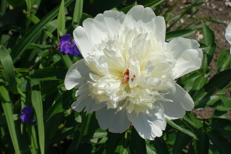 Nära sikt av den vita blomman av pionen royaltyfria bilder