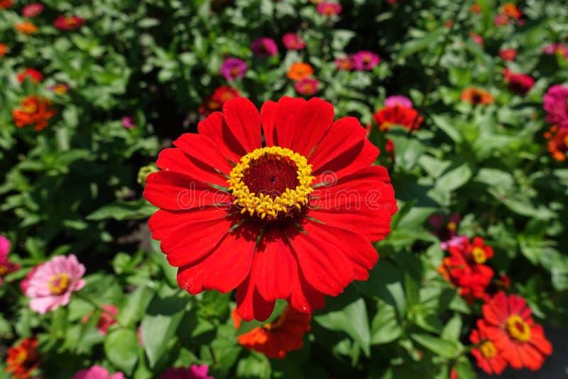 Nära sikt av det röda blommahuvudet av zinniaen arkivbild