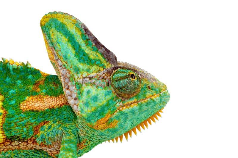 Nära sikt av ett härligt grönt färgrikt chamaeleocalyptratushuvud som ser upp royaltyfri foto