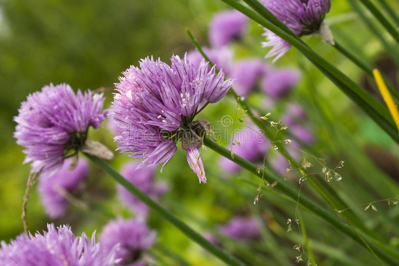 Nära sikt av lösa purpurfärgade blommor i skogen arkivbilder