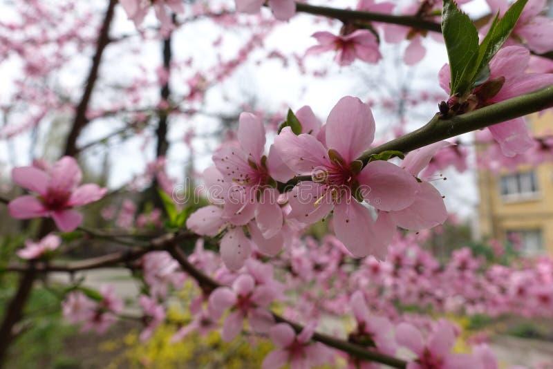 Nära sikt av rosa blommor av persikan fotografering för bildbyråer