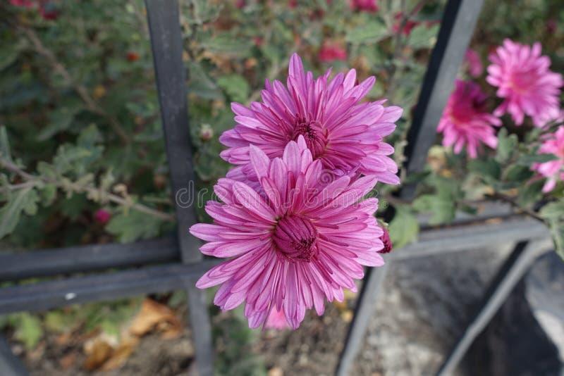 Nära sikt av rosa flowerheads av krysantemumet royaltyfria bilder
