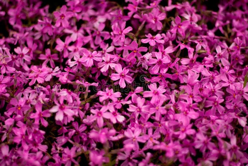 Nära sikt av ursnygga purpurfärgade blommor i en trädgård efter regn i en trädgård royaltyfria bilder