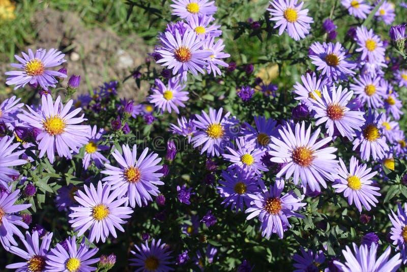 Nära sikt av violetta blommor av den Symphyotrichum dumosumen arkivfoto