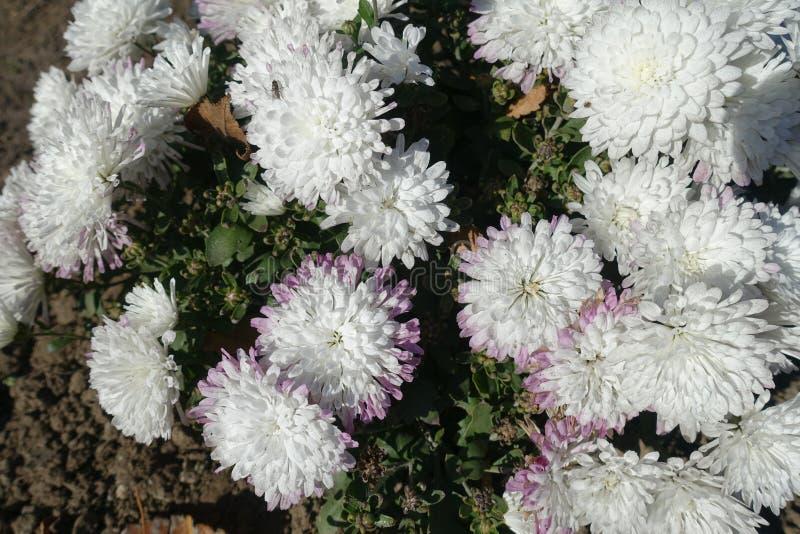 Nära sikt av vita blommor av krysantemum i November royaltyfria foton