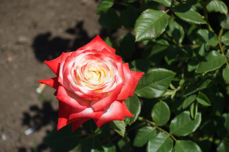 Nära skott av den röda och vita rosen fotografering för bildbyråer
