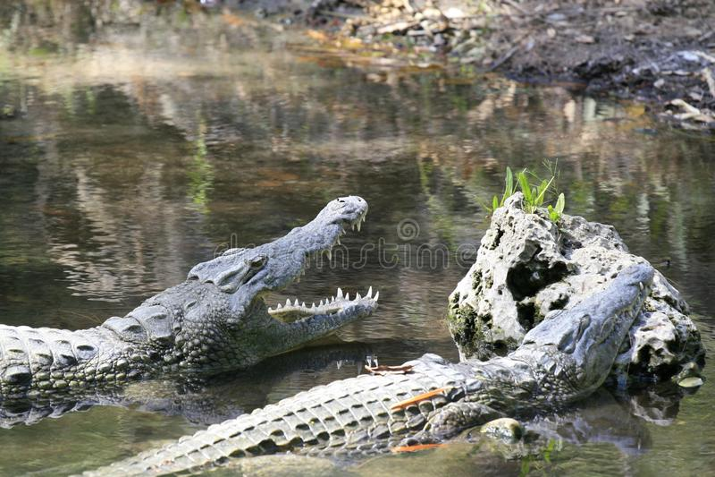 Nära stående av Nilenkrokodilen, Crocodylusniloticusen, munnen och tänder royaltyfria foton