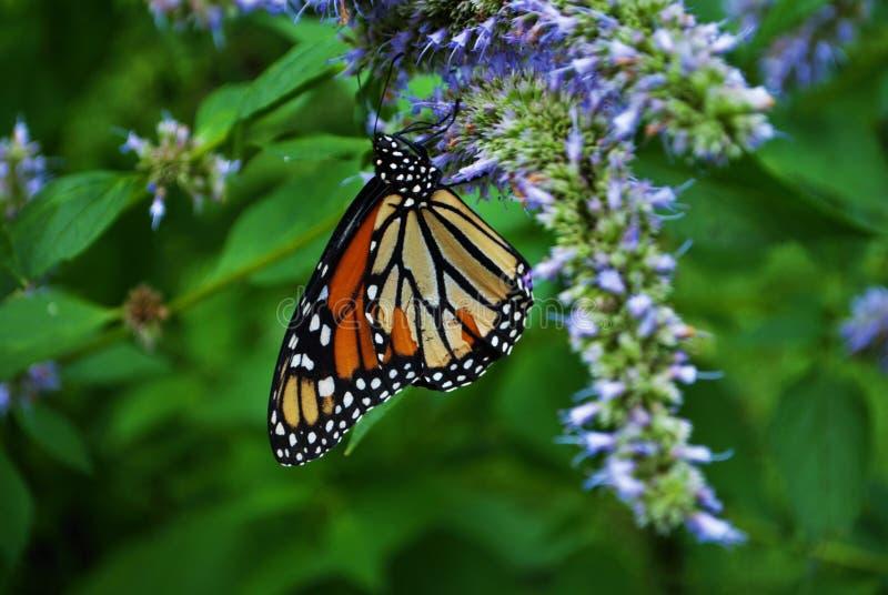 Nära upof en monarkfjäril med en bruten vinge på en blåttVeronica-blomma royaltyfri fotografi