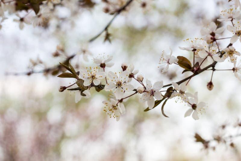 nära upp av blomman för körsbärsröd plommon i vår arkivbilder