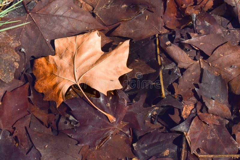 nära upp av ett brunt blad för torr lönn på jordningen i en plats av en nedgångdag Bladet är på andra mörka bruna sidor, därför a royaltyfri fotografi