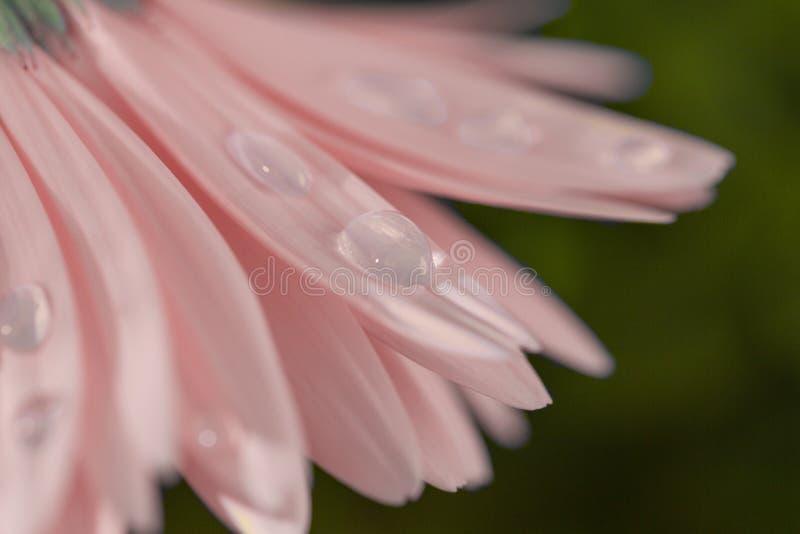 Nära upp försiktiga rosa färger av Gerberablomman med vattendroppar Makro härlig bakgrund royaltyfri fotografi