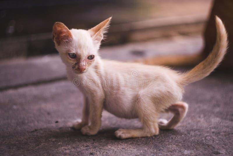 Nära upp full kropp av den lilla smutsiga magra vita kattungen royaltyfri bild