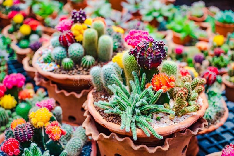 N?ra upp selektiv fokus av den h?rliga blomman av variation av kaktuns och suckulenter i lerablomkrukor i v?xtlager royaltyfria bilder